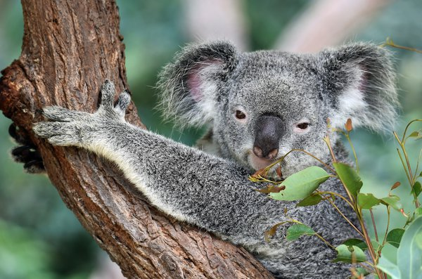 koala-in-a-tree-sale-Austrelia-Beadtrails-British-Columbia